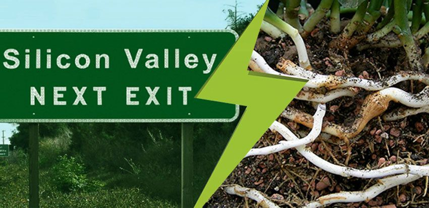 Do you know what Silicon Valley and a rhizome share in common?